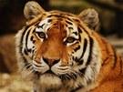 Tygřice Maja porodila svá čtvrtá mláďata.