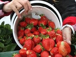 Letos jahody dozr�vaj� o t�den d��ve ne� loni a d�ky ide�ln�mu po�as� jsou plody hodn� velk�