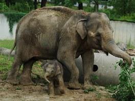 Sloní holčička s matkou Johti se v bahně s chutí vyválely.