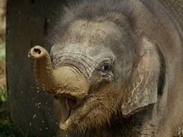 Takřka dvouměsíční sloní holčička si bahenní lázeň opravdu užívala.