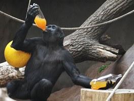 Petky s ovocnou šťávou jsou u všech goril oblíbené.
