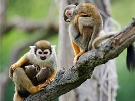 Kotulové veverovití s mláďaty