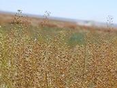Camelina, rostlina, ze které se dělá biopalivo Green Jet Fuel společnosti