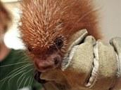 Ve zlínské zoo se narodilo mládě kuandu obecného.