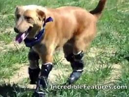 První pes na světě, který běhá díky bionickým nohám.
