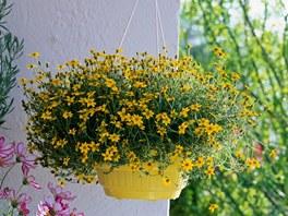 Západní lodžii ozdobte rostlinou bidens, sluneční paprsky jí prospějí.