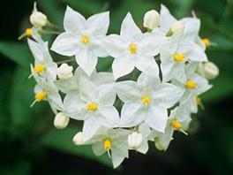 Jasmínokvětý lilek vás svými půvabnými květy potěší na jižně orientované lodžii.