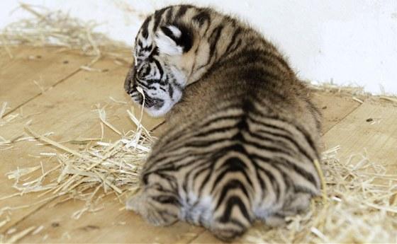 Obě třítýdenní koťátka tygrů sumaterských v pražské zoo jsou samičky.