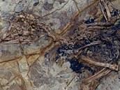 Zatím jediná zkamenělina druhu Xiaotingia zhengi. Slouží jako tzv. holotyp,