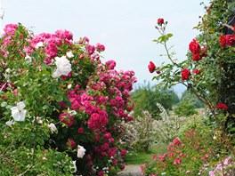 Chodník lemovaný pnoucími a půdopokryvnými růžemi, které doplňuje meduňka,