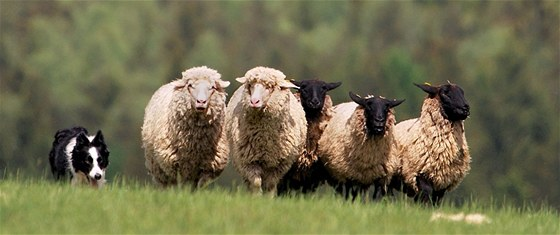 Dobře vycvičený ovčácký pes například dovede v danou hodinu stádo ze vzdálené