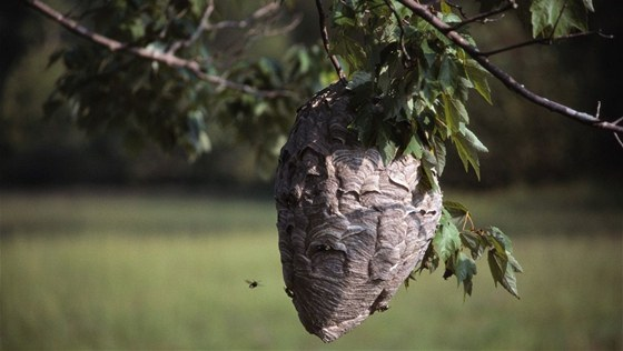 Sršní hnízdo na stromě.