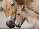 Mládě koně Převalského těsně po narození (2. 8. 2011)