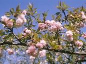 Kvetoucí okrasná třešeň (Prunus serrualata ´Kiku shidare sakura´) by měla