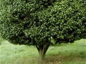 Habr obecný (Carpinus betulus Columnaris), který lze krásně tvarovat, by měl