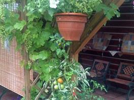 Tyčkové rajče zasazené hlavou dolů
