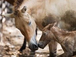 Mládě koně Převalského těsně po narození (2. 8. 2011.)