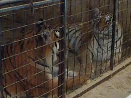 Tygří sourozenci, kteří vyrůstali v rodině Ringelových, protože se o ně matka