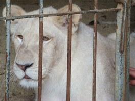 Ringelovi si můžou dovolit podrbat lva či tygra za uchem. Vy to nezkoušejte, i
