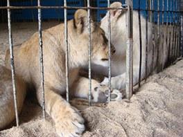 Bílí lvi jsou u Kutné Hory k vidění je do poloviny září, pak začnou cestovat po