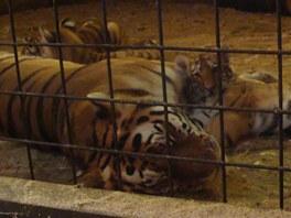 Čtyřměsíční tygří slečny Taru, Inu, a Tajgu (na snímku s desetiletou mámou