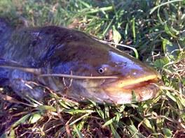 Sumec velký loví převážně v noci.
