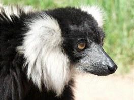 Lemur vari černobílý, zvaný Bělouš, odcestoval do Zoo Zájezd.