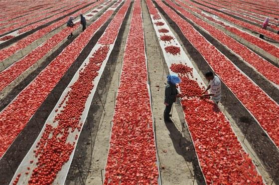 Na uvolněná místa se okamžitě doplní další zralá rajčata a naběhnou k nim