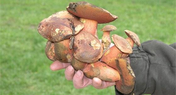 Největší trs srostlých hřibů kovářů objevil Josef Koranda u potoka poblíž obce