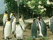 Tučňáci se v zoologických zahradách také chladí pod sprchami. Ilustrační foto