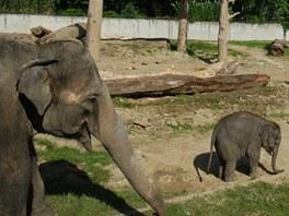 Skupina tří sloních dam s jednou holkou ve výběhu.