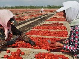 Rajčata se krájejí na polovinu přímo na pultících sušáren pod širým sluncem.