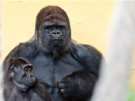 Gorilí samec a mladší ze dvou samiček z přírodního parku Cabárceno na severu