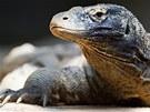 """""""Zázračná"""" varaní samice Aranka, která Zoo Praha přináší jednu snůšku mladých za druhou."""