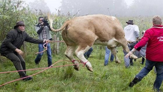 Krávu Yvonne nakonec museli uspat, aby ji dostali do přepravníku.