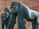 Gorilí samec Richard s částí své rodiny ve venkovním výběhu pražské zoo