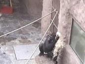 Chomáčem dřevítky si zmoklá Bikira vytírá srst dosucha.