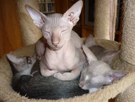 Bezsrstá kočka plemene peterbald s koťaty
