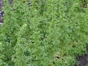 Zajímavá odrůda salátu - netvoří hlávky, ale přerostlý má podobu stromečku.