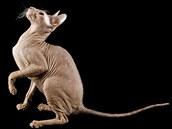 Nahá kočka plemene peterbald