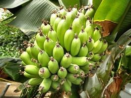 Banány úspěšně pěstují i zahradníci ve skleníku Pražského hradu.