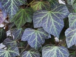 Břečťan je univerzální rostlina. Snese stín i slunná místa a vypadá dobře i