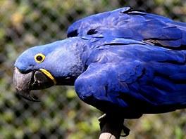 Zlínská zoo začala chovat největší papoušky. Ara hyacintový má výraznou