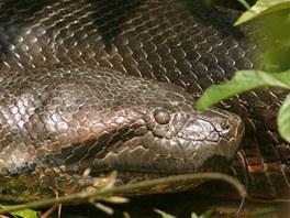 Obří anakonda ulovená v Guyanském pralese