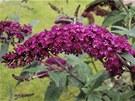 Komule Davidova se chlubí svými květy, které k vám přivábí na zahradu spoustu