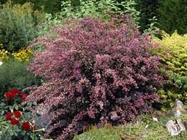 Dřišťál Thunbergův (Berberis thunbergii) oživí zahradu barvou svých listů.