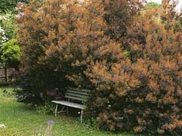 Ruj vlasatá (Cotinus coggygria) s tmavě fialovými listy také zajímavě kvete.