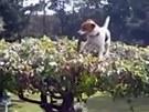 Jack Russell vytahuje svůj klacíček z koruny stromu.