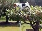 Jack Russell v koruně stromu - v zubech vítězoslavně třímá svůj klacíček.