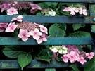 Pohledům z ulice může v sezóně bránit i kvetoucí plot (Hydrangea).